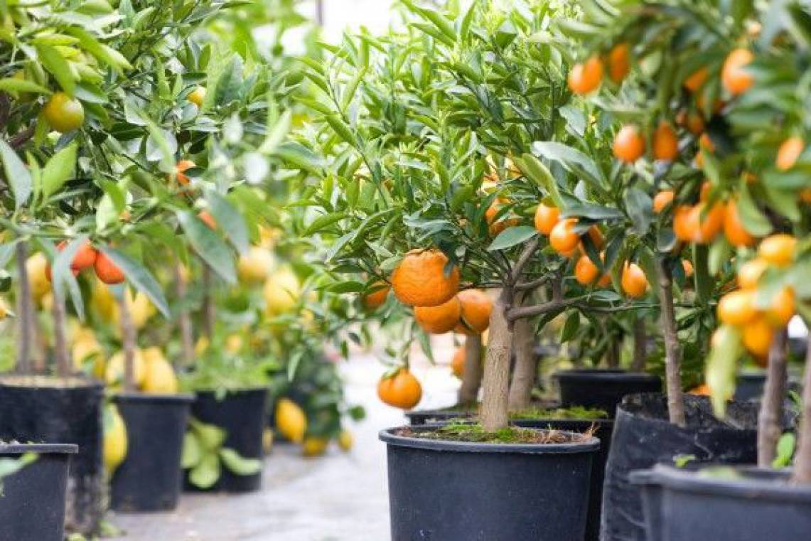 árvores de fruto para jardim