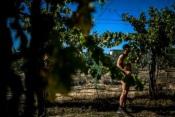 Grândola: Algumas vindimas feitas 'a nu' por adeptos do naturismo!