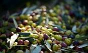 Universidade de Évora  apresenta medidas para a gestão sustentável em olivais mediterrânicos