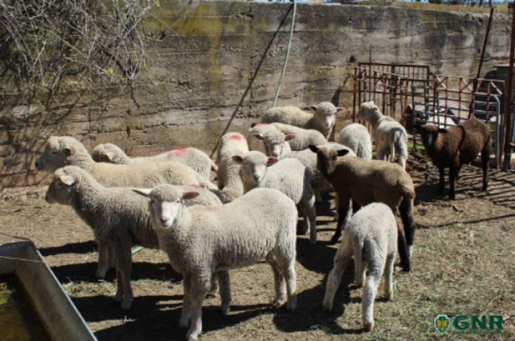 GNR recuperou em Moura cerca de duas dezenas de ovelhas roubadas