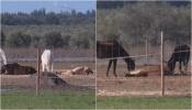 Cavalos apreendidos em Aljustrel e Ferreira do Alentejo continuam no mesmo local, sem alimento e subnutridos. Já existem animais mortos no local