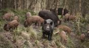 Alentejo: Javalis não dão tréguas aos Agricultores! Destroem culturas e ameaçam espécies!