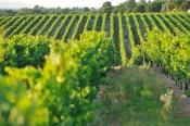 Alentejo duplica crescimento na produção nacional de vinho. Só quatro regiões deverão crescer
