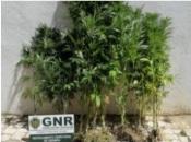 Vila Nova de Milfontes: GNR deteve casal por cultivo de canábis