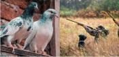 Caçadores não concordam com proibição da caça à rola-comum e exigem compensações