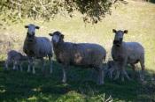 Cinco mil ovinos infetados com o vírus da língua azul em Beja e Évora. DGAV no terreno para combater o surto!