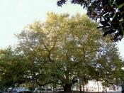 """Plátano de Portalegre - Termina hoje a votação para eleger a """"Árvore do Ano 2021"""""""