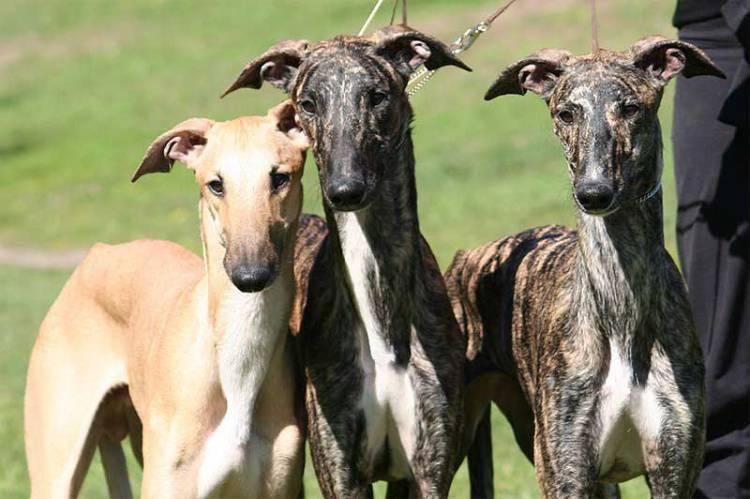 Vinda de mais de 600 cães galgos de Macau para Borba comprometida por falta de apoios