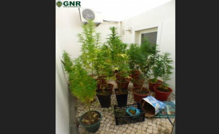 Homem detido por cultivo de cannabis no Baixo Alentejo