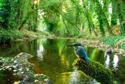 Guarda-Rios no seu poleiro junto ao Rio Sever vale menção honrosa a fotógrafo portalegrense