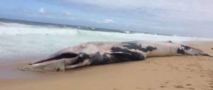 Segunda baleia a dar à costa no Litoral Alentejano no espaço de 1 semana