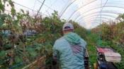 """Trabalho de imigrantes em Odemira dá-lhes acesso ao """"visto framboesa"""" após 7 anos de trabalho, afirma canal franco-alemão"""