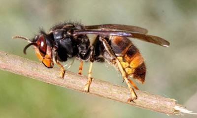 CIMAA tenta travar propagação da vespa velutina no Alto Alentejo