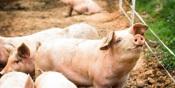 Universidade de Évora investiga seleção genética de suínos para melhoria da qualidade dos produtos