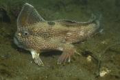 O peixe-mão-liso tornou-se o primeiro peixe ósseo oficialmente extinto