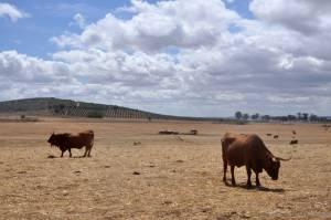 """Comissão de Acompanhamento dos Efeitos da Seca diz que """"a antecipação no consumo de alimentos conservados, conduz ao comprometimento"""" da alimentação dos animais no Alentejo"""