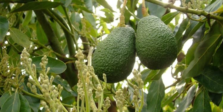 Projeto de 6 milhões para plantação de 60 mil abacateiros no Alentejo Litoral em consulta pública