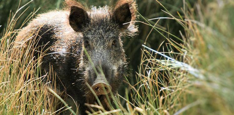 Produtores de porco alentejano preocupados com contágio da peste suína através dos javalis