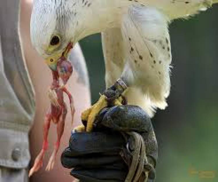 Libertação de três aves de rapina recuperadas em Portalegre