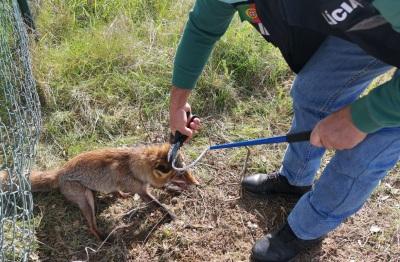 PSP de Évora salva raposa presa pelo pescoço numa armadilha