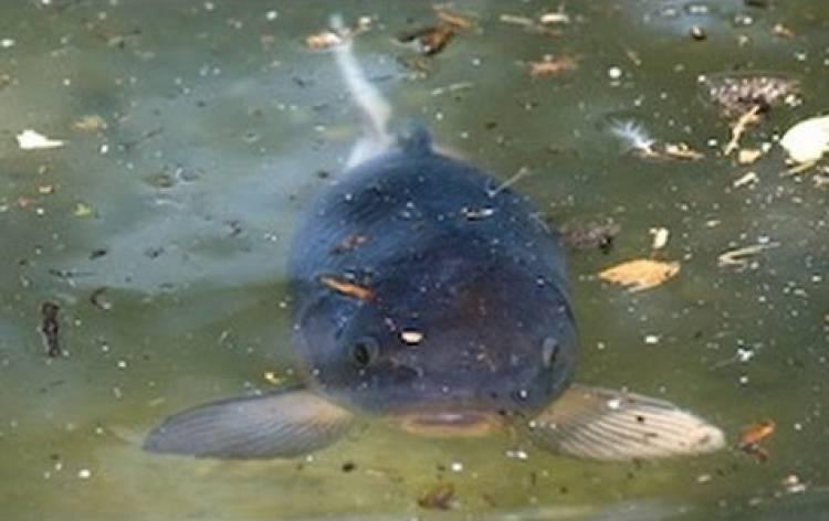 Seca obriga a retirar 150 toneladas de peixe de barragens alentejanas