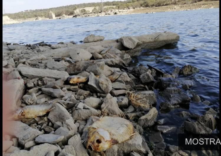 Nas margens  do Rio  Guadiana, avolumam-se os peixes mortos devido à seca.