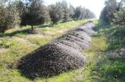 Comando da GNR de Beja apreende 470 quilos de azeitona