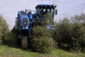Produtores de Azeite suspendem colheita noturna mecanizada da azeitona.