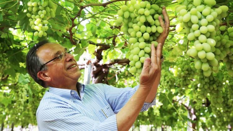 Produtor de uvas sem grainha no Alentejo quer trazer mais 100 luso-venezuelanos a tempo inteiro e 300 na altura das colheitas