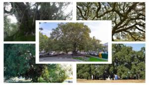 Árvores alentejanas lideram votação para Árvore do Ano 2019