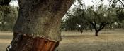 Município de Odemira promove palestra online sobre a restauração do Montado de Sobro