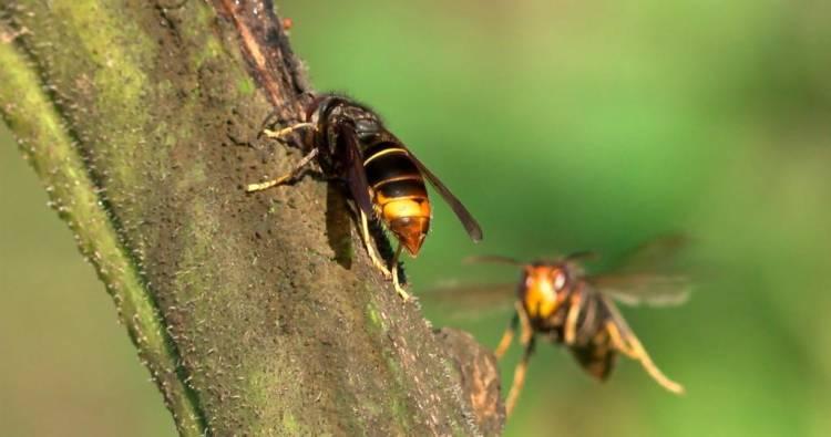 Apicultores ajudam ICNF a combater praga da vespa-asiática no Alto Alentejo, diz técnico do SOS Vespa (c/som)