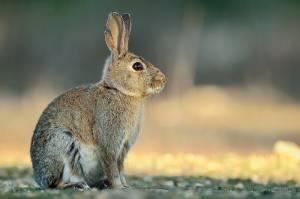 Governo atribui 500 mil euros para travar doença hemorrágica dos coelhos