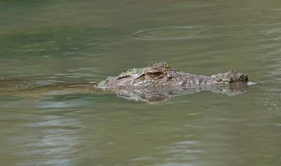 Corpo de criança encontrado dentro de crocodilo na Malásia