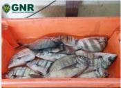 Odemira: GNR apreende pescado por fuga à lota
