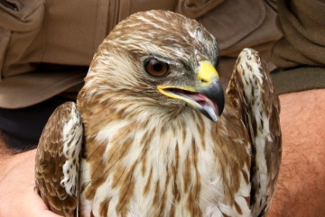 GNR resgata águia de asa redonda no concelho de Aljustrel