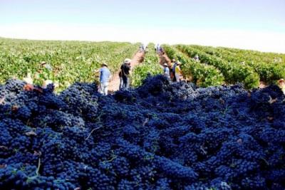 Época de vindimas já arrancou no Alentejo e estima-se que produza mais 5 a 10% de vinho este ano