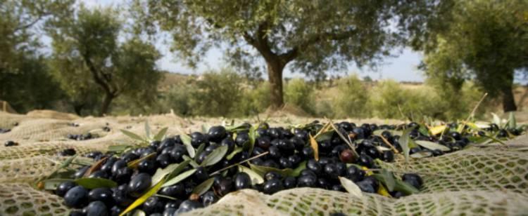 GNR apreende mais de 1 tonelada de azeitona furtada no Baixo Alentejo