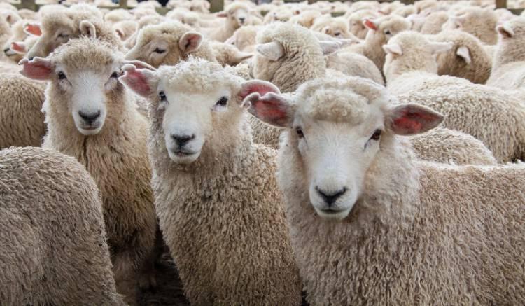 Associação de Agricultores do Sul cria serviço de venda internacional de ovinos