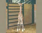 Nasceu uma cria de Girafa no Alentejo! (C/Fotos)