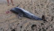 Golfinho morto dá à costa em praia de Sines