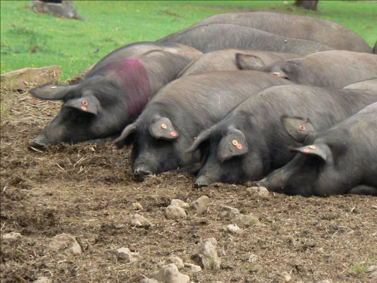 Porco Preto Alentejano das raças mais valorizada em todo o mundo pela sua genuinidade plena