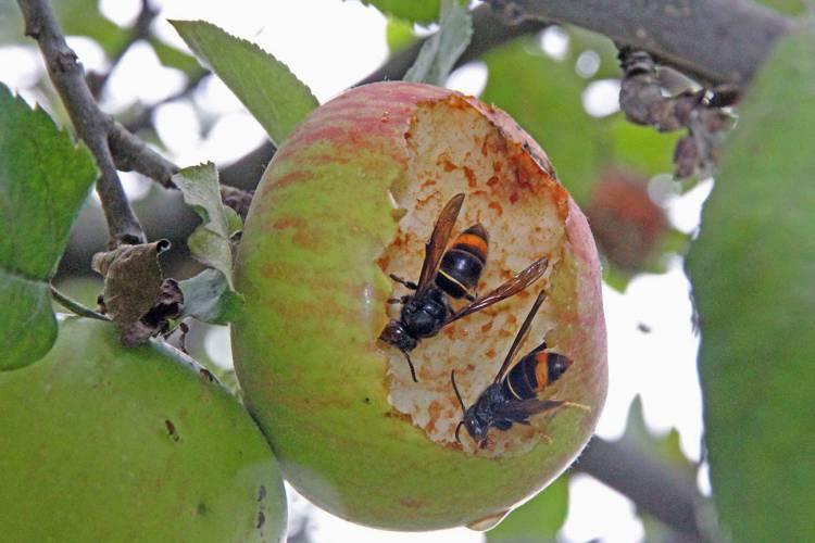 """Espécie invasora de vespa """"é natural que também esteja no Alentejo"""", afirma presidente da Quercus (c/som)"""