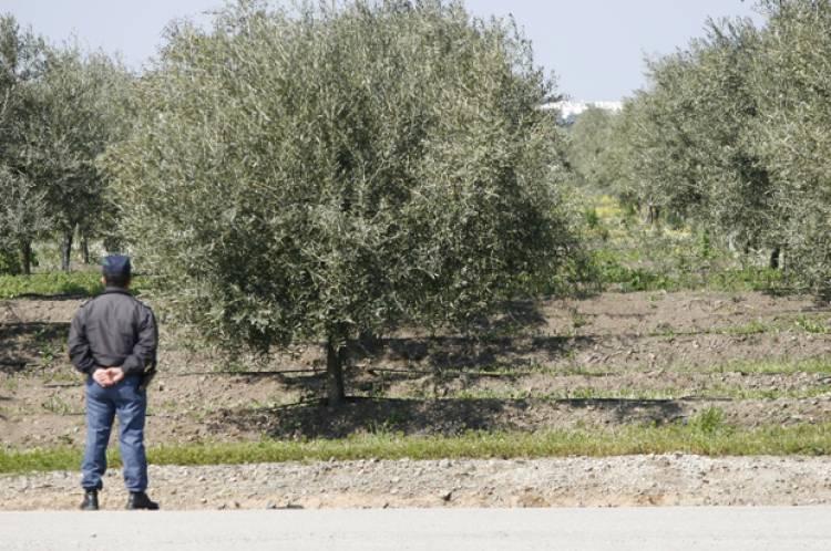 Dois detidos em flagrante delito em Sousel por furto de azeitona