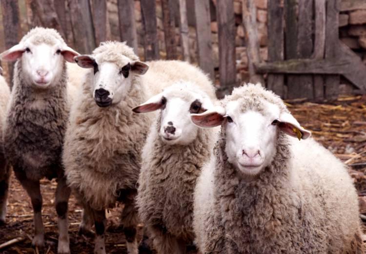 Criadores têm até ao final do mês para declarar o efetivo de ovino e caprino (c/som)