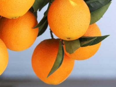 Jerónimo Martins investe na produção de 150 toneladas de laranjas biológicas em Ferreira do Alentejo