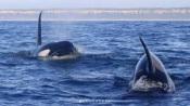Ataque de orcas faz estragos em Embarcação de pesca a sul de Troia!