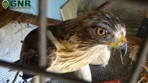 GNR recupera águia no Baixo Alentejo