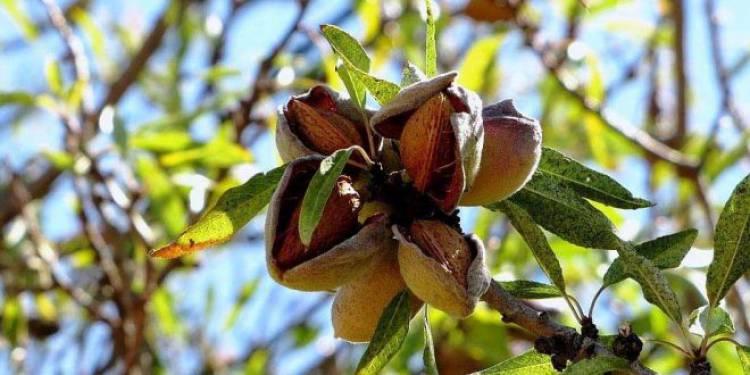 Fundo californiano investe até 200 milhões na produção de amêndoa do Alqueva