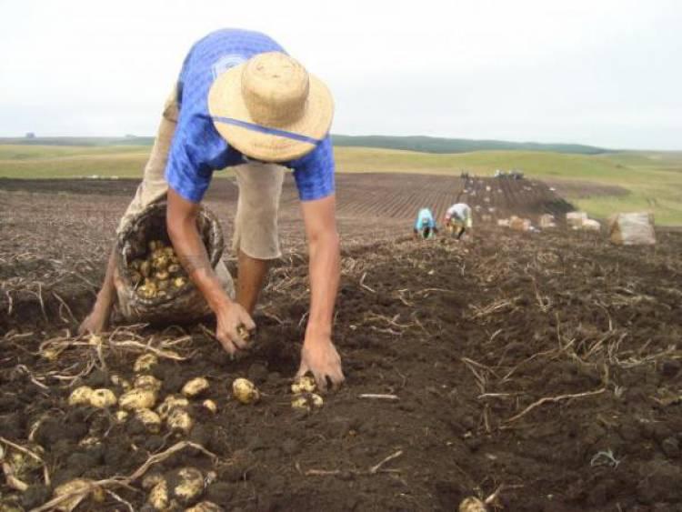 Produtores de batata têm disponibilizada linha de crédito de 3 milhões de euros